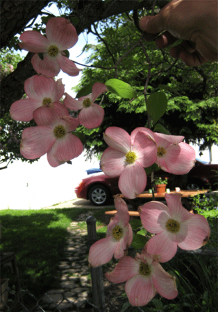 Image of pink dogwood